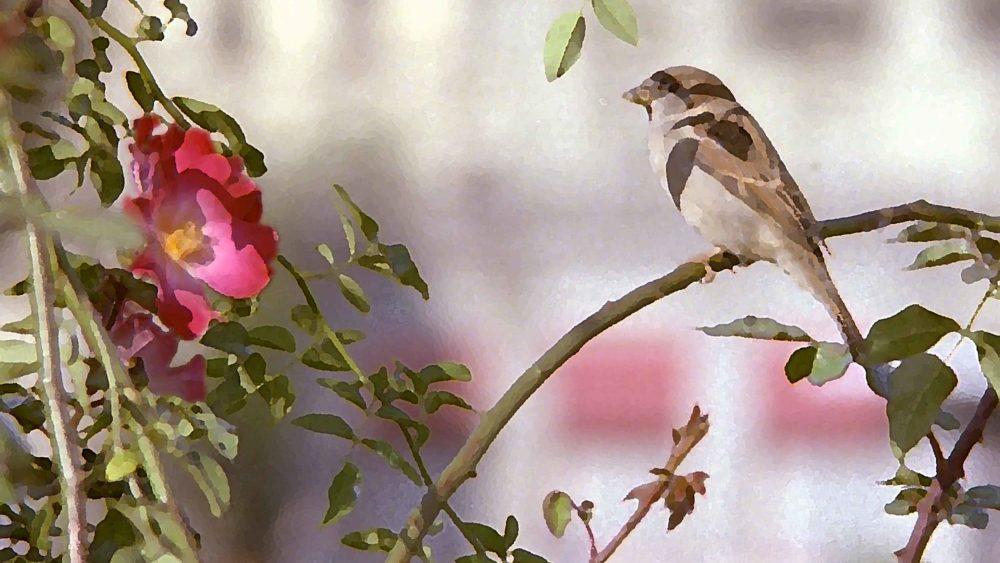 sparrow-looking-at-red-primrose